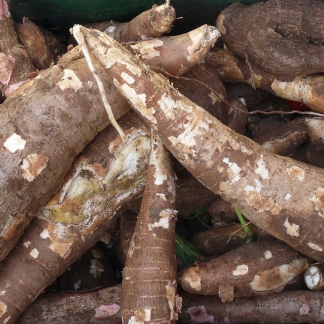 Cassava – the root that binds all Guyanese