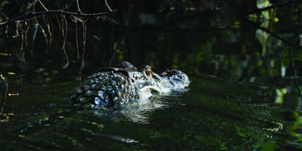 "http://exploreguyana.org/wp-content/uploads/2015/07/A-Black-Caiman-""On-the-Prowl""-e1436278155821.jpg"